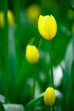 Jaunissez les tulipes en stationnement de Keukenhof Photographie stock