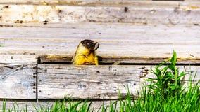Jaunissez Marmot gonflé dans l'Alpines de Tod Mountain, AVANT JÉSUS CHRIST, Canada Photos stock