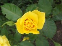 Jaunissez rose Image libre de droits