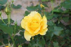 Jaunissez rose Photos libres de droits
