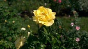 Jaunissez rose Images stock