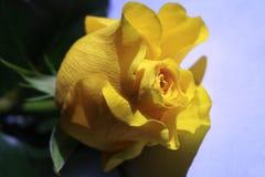 Jaunissez rose Images libres de droits