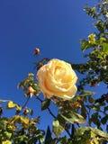 Jaunissez rose Photo libre de droits