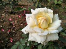 Jaunissez rose photo stock