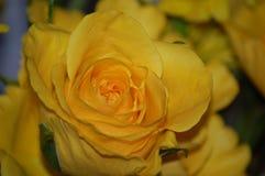 Jaunissez rose Image stock