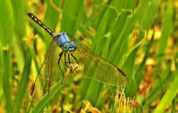 Jaunty Dropwing Dragonfly Royalty Free Stock Photography