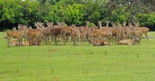 Java鹿狂放的牧群在毛里求斯 库存图片