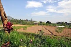 Java agriculture plants. Planted fields on Java island (Indonesia Stock Photo