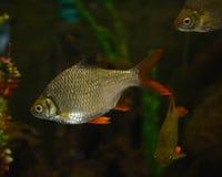 Java barb. Fish Swimming in aquarium Stock Photo