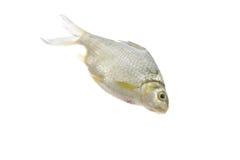 Java barb fish on white background. Stock Image