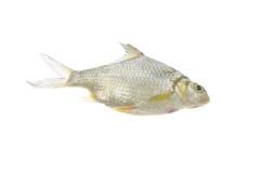 Java barb fish on white background. Royalty Free Stock Photos