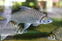 Java barb. The image of the java barb fish. This fish is the favourite fish for Thai people for cooking Royalty Free Stock Image