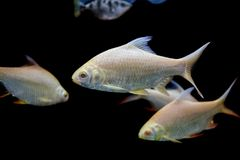 Java barb, Silver barb fish in aqurium Royalty Free Stock Image