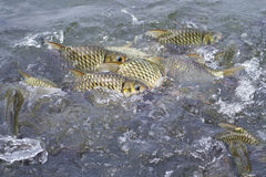 Java barb, Silver barb fish bustle eat feed in farm, Selective F Stock Photo