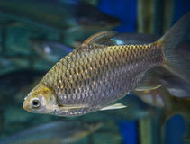 Java barb Stock Photo