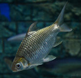 Java barb Royalty Free Stock Photography