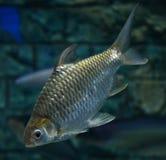 Java barb. Swimming on aquarium fish Royalty Free Stock Photography