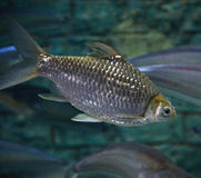 Java barb Stock Images