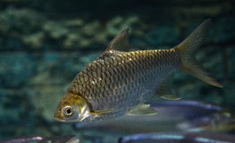 Java barb Royalty Free Stock Photo