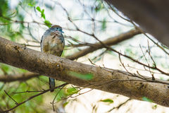 Java dove on a twig Royalty Free Stock Photos