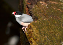 Java Finch Royalty Free Stock Image