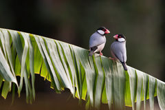 Java Finches Royalty Free Stock Images