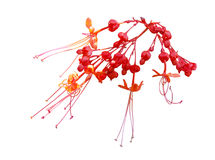 Java Glorybower Flower Stock Image