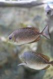 Java-Kaninchenfische oder Bluespotted-spinefish oder gestreiftes spinefoot Stockbild
