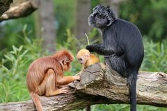 Java langur portrait Royalty Free Stock Photos