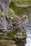 Java Macaque. (Macaca fascicularis) sitting by water Stock Image