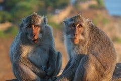 Java macaque, Macacafascicularis Royaltyfri Foto