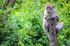 Java Macaque sammanträde på ett träd i apadjungeln arkivfoto