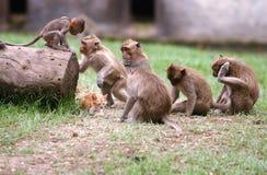 Java monkey Royalty Free Stock Image