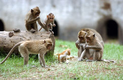 Java monkey Royalty Free Stock Photos