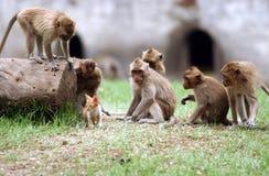 Java monkey Royalty Free Stock Images