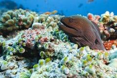 Java Moray Gymnothorax Javanicus Stock Photo
