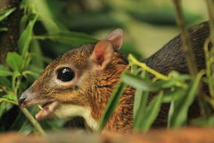 Java mouse-deer Royalty Free Stock Photography