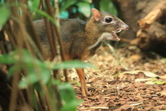 Java mouse deer. The roaring java mouse deer Stock Photo