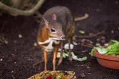 Java mouse-deer Tragulus javanicus. Stock Images