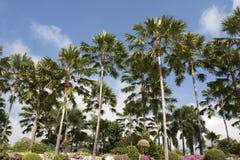 Java palm or Livistona rotudifolia Royalty Free Stock Images