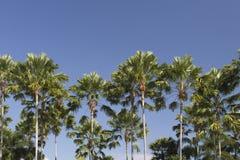 Java palm or Livistona rotundifolia Stock Photos