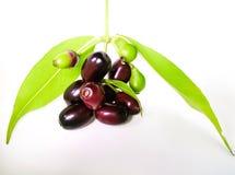 Java plum fruit Stock Images