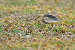 Java Pond Heron Royalty Free Stock Image