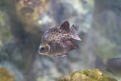 Java Rabbitfish (javus de Siganus) Fotos de archivo