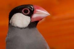 Java Rice Sparrow Immagini Stock