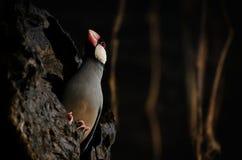 Java Rice Sparrow Images libres de droits