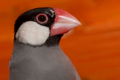 Java Rice Sparrow Stock Images