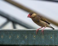 Java rice sparrow sitting on a metal beam in the aviary, popular tropical pet, Endangered bird from Indonesia. A java rice sparrow sitting on a metal beam in the royalty free stock photo