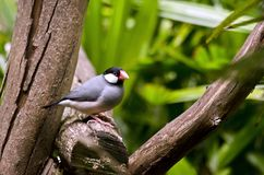Java Sparrow Stock Afbeelding