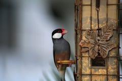 java sparrow Royaltyfria Foton